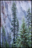 Trees and fossilized ash wall, Munson Creek. Crater Lake National Park ( color)