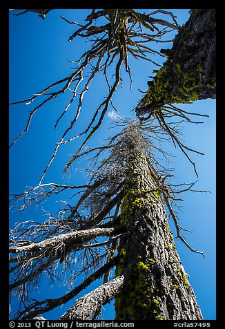 Looking up trees skeletons. Crater Lake National Park (color)