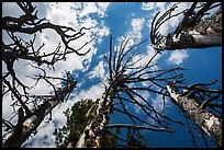 Looking up whitebark pine tree skeletons. Crater Lake National Park ( color)