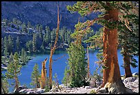 Pines and Rae Lake. Kings Canyon National Park, California, USA. (color)