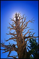 Dead lodgepole pine tree. Kings Canyon National Park ( color)