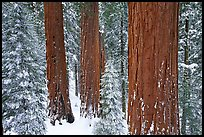 Sequoias and pine trees covered with fresh snow, Grant Grove. Kings Canyon  National Park, California, USA.