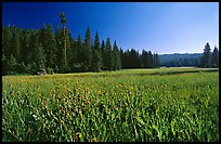 Meadow near Grant Grove, summer afternoon, Giant Sequoia National Monument near Kings Canyon National Park. California, USA (color)