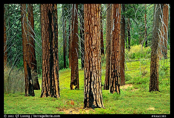 Pines in Cedar Grove. Kings Canyon National Park (color)