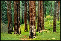 Pines in Cedar Grove. Kings Canyon National Park ( color)