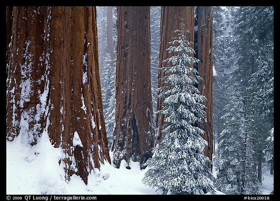Sequoias in winter snow storm, Grant Grove. Kings Canyon National Park (color)