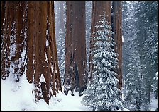 Sequoias in winter snow storm, Grant Grove. Kings Canyon National Park, California, USA.