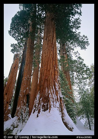 Giant Sequoia trees in winter, Grant Grove. Kings Canyon  National Park (color)