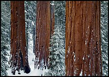 Sequoias (Sequoiadendron giganteum) and pine trees covered with fresh snow, Grant Grove. Kings Canyon National Park, California, USA. (color)