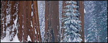 Sequoia forest in snow. Kings Canyon National Park (Panoramic color)