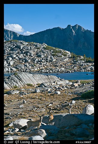 Deer in alpine terrain, Dusy Basin, afternoon. Kings Canyon National Park (color)