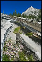Wildflowers and water over granite slabs, Le Conte Canyon. Kings Canyon National Park, California, USA.