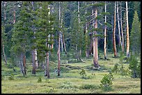 Pine trees in Big Pete Meadow, Le Conte Canyon. Kings Canyon National Park, California, USA. (color)