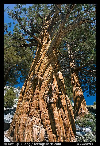 Pine tree, Le Conte Canyon. Kings Canyon National Park (color)