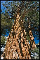 Pine tree, Le Conte Canyon. Kings Canyon National Park, California, USA. (color)