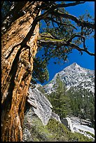 Pine tree and peak, Le Conte Canyon. Kings Canyon National Park, California, USA. (color)