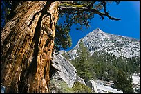 Pine tree and peak, Le Conte Canyon. Kings Canyon National Park, California, USA.