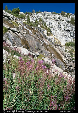 Fireweed and waterfall. Kings Canyon National Park, California, USA.