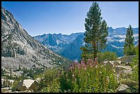 Fireweed and pine trees above Le Conte Canyon. Kings Canyon National Park, California, USA.