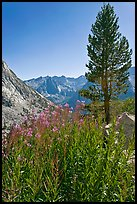 Fireweed and pine tree above Le Conte Canyon. Kings Canyon National Park, California, USA.