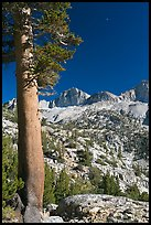 Pine tree, Mt Giraud chain, and moon, afternoon. Kings Canyon National Park, California, USA.