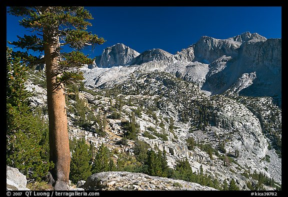 Pine tree and Mt Giraud chain, Lower Dusy basin. Kings Canyon National Park (color)