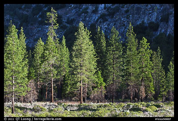 Pine trees and cliff in shade, Cedar Grove. Kings Canyon National Park (color)