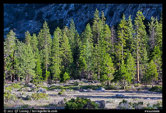 Meadow, lodgepole pines, and cliff early morning. Kings Canyon National Park, California, USA.