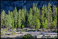 Meadow, lodgepole pines, and cliff early morning. Kings Canyon National Park ( color)