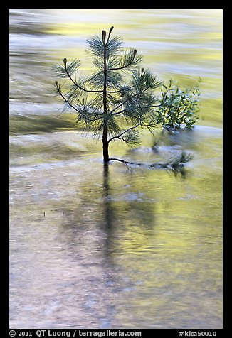 Pine sappling in middle of river. Kings Canyon National Park (color)