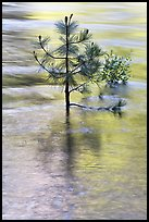 Pine sappling in middle of river. Kings Canyon National Park ( color)