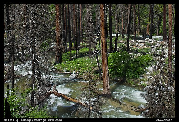 Streams in forest in the spring, Cedar Grove. Kings Canyon National Park (color)