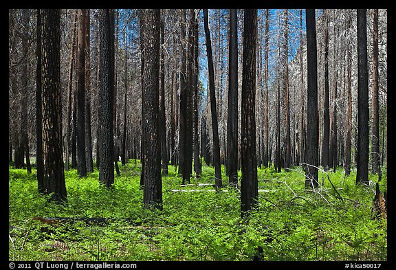 Burned forest and ferns. Kings Canyon National Park, California, USA.