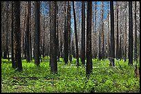 Burned forest and ferns. Kings Canyon National Park, California, USA. (color)