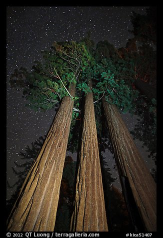 Group of sequoia trees under the stars. Kings Canyon National Park, California, USA.