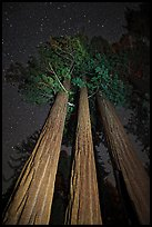 Group of sequoia trees under the stars. Kings Canyon National Park ( color)