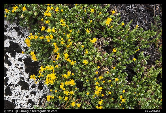 Tiny yellow flowers. Kings Canyon National Park (color)