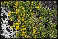 Tiny yellow flowers. Kings Canyon National Park ( color)