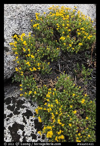 Flowers on granite crack. Kings Canyon National Park (color)