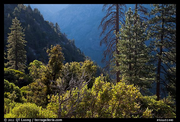Trees on Cedar Grove valley rim. Kings Canyon National Park (color)