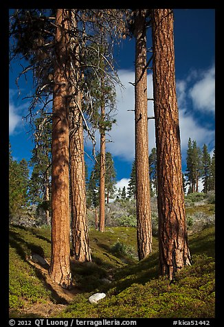 Ponderosa pine trees and sky, Hotel Creek. Kings Canyon National Park (color)