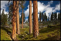 Group of Ponderosa pines and sky. Kings Canyon National Park ( color)