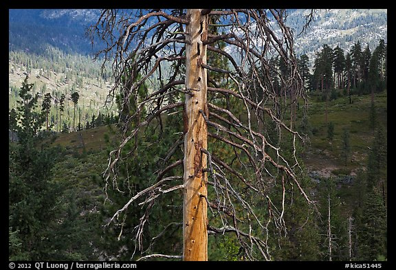 Standing tree skeleton. Kings Canyon National Park (color)