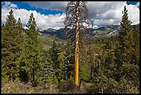 Tall standing dead tree and forest. Kings Canyon National Park, California, USA. (color)
