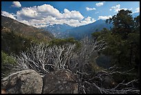 Manzanita branches and Cedar Grove Valley. Kings Canyon National Park, California, USA.