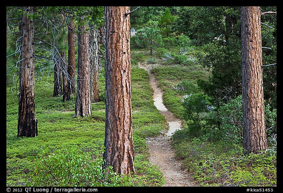 Trail in pine forest. Kings Canyon National Park (color)