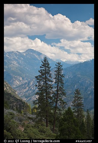 Trees and hazy valley. Kings Canyon National Park (color)