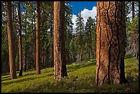 Ponderosa pine forest. Kings Canyon National Park, California, USA. (color)