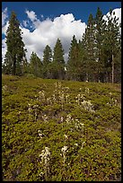 Wildflowers and pine forest. Kings Canyon National Park, California, USA. (color)