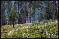 Wildflowers and trees above Lewis Creek. Kings Canyon National Park, California, USA. (color)